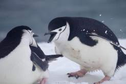 Chinstrap penguins having a fight © Karen Edwards