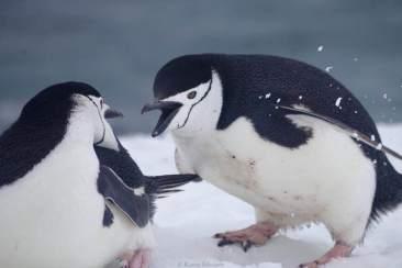 Chinstrap penguins having a fight © Karen Edwards