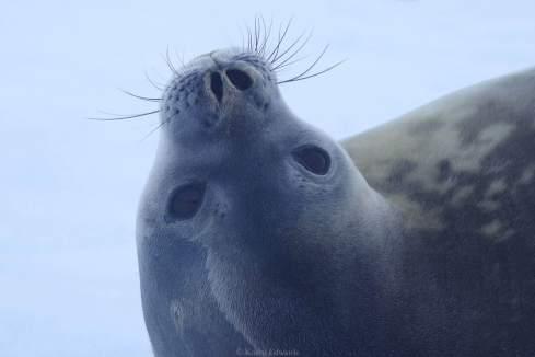A Weddell seal © Karen Edwards