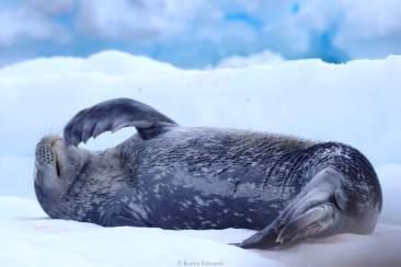 A Weddell seal on an ice berg, Paradise Bay. © Karen Edwards
