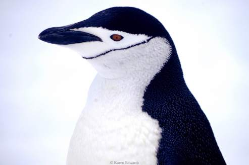 Chinstrap penguin, Antarctica. © Karen Edwards