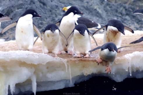 Adélie penguin bravely taking the icy plunge. © Karen Edwards