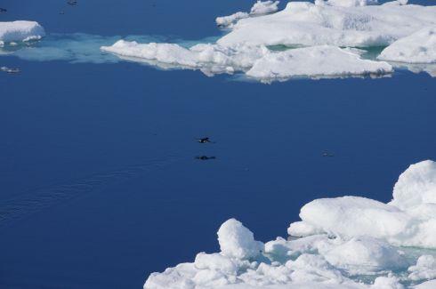 Guillemot lift off, Svalbard. © Karen Edwards