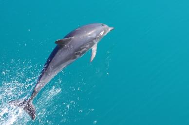 Common dolphin, New Zealand. © Karen Edwards