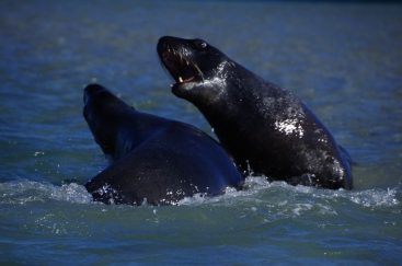 Hooker's sea lions playing out on the peninsula, New Zealand. © Karen Edwards