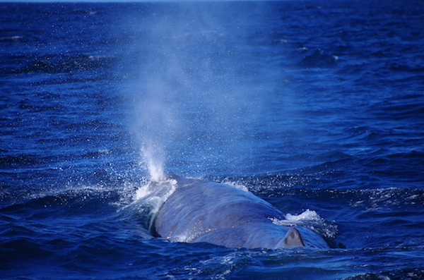 Spouting sperm whale, New Zealand. © Karen Edwards