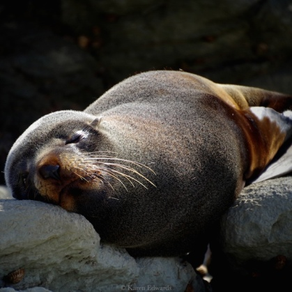 Sleepy fur seal, New Zealand. © Karen Edwards