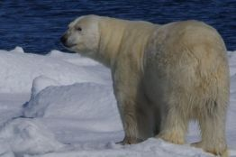 Male polar bear, Svalbard. © Karen Edwards