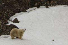 Polar bear, Svalbard. © Karen Edwards