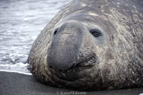 Elephant seal trunk