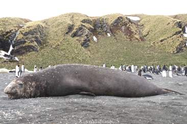 Adult male Elephant seal